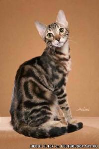 кошки соукок