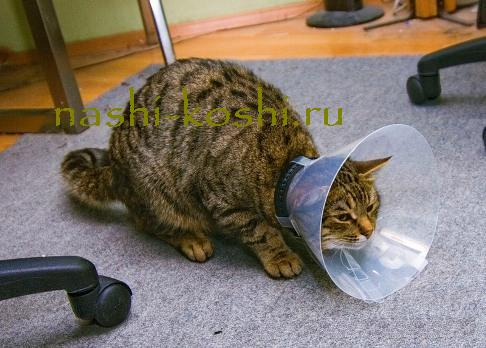 Как правильно одеть воротник для котов