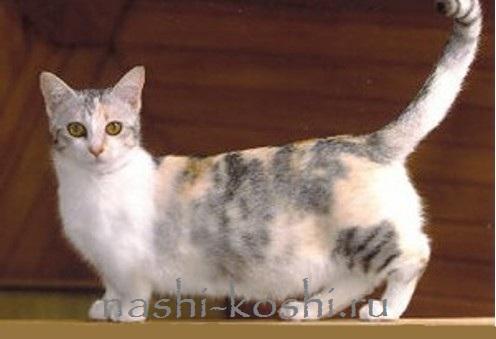 манчкин кошка-такса