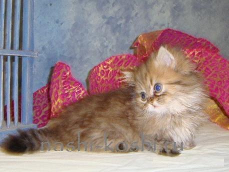 кошки наполеон