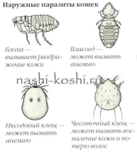 кожные паразиты