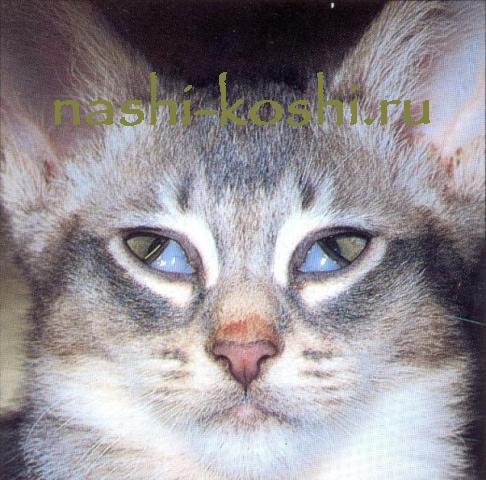 болезни глаз у кошек; третье веко у кошек