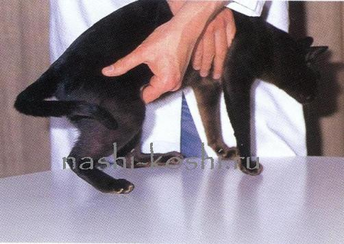 желудок и кишечник кошки