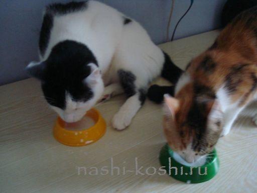 можно ли молоко кошке