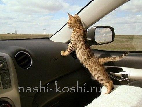 как перевезти кошку в машине