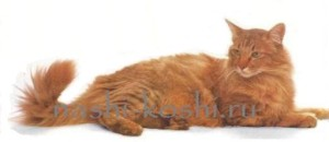 длинношерстные кошки
