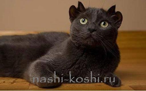 многоухие кошки. мутации кошек