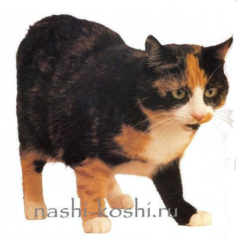 мэнская кошка (мэнкс)