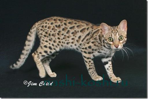 бенгальская кошка (бенгал)