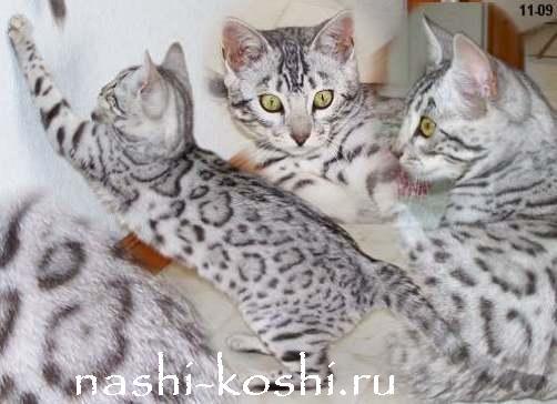 Бенгальские коты расцветки