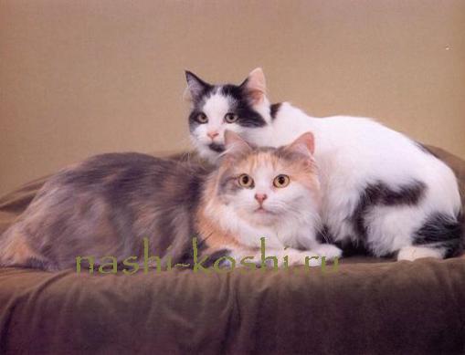 кимрская кошка (кимрик)