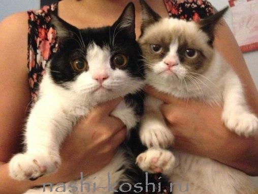 Grumpy Cat - сердитый кот