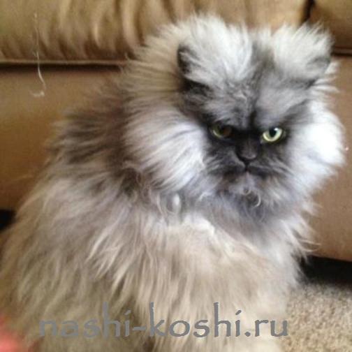 самый суровый кот