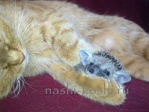 кошка Соня усыновила ежат