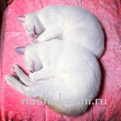 коты-близнецы Мерри и Пиппин