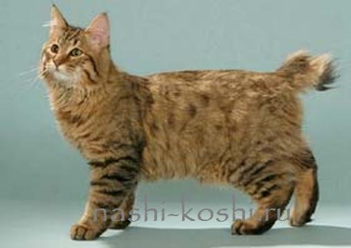 Коты как рысь порода фото и цены