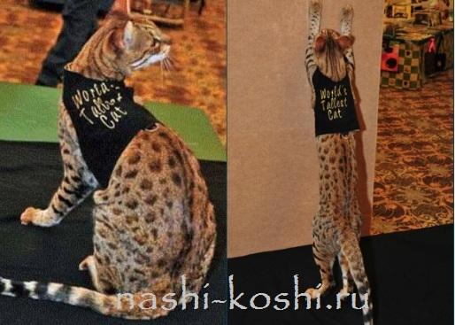 самый высокий кот