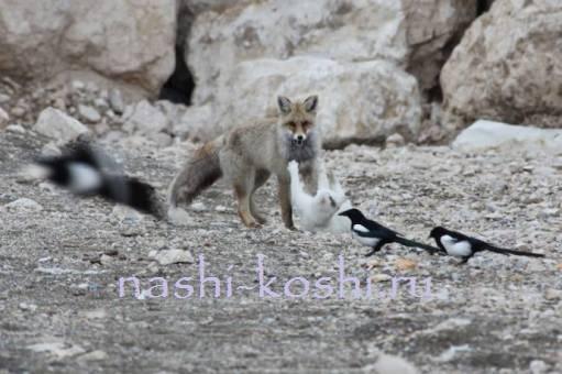 необычная дружба ванской кошки и лисы