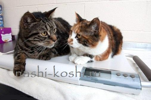 толстые кошки