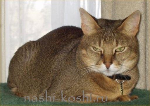 самые большие домашние кошки