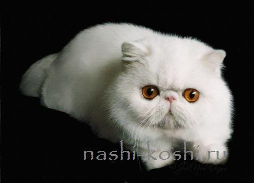 Купить кот экзот в челябинске