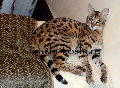 кошка саванна фото цена