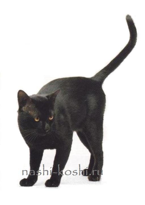 бомбейская кошка; бомбей