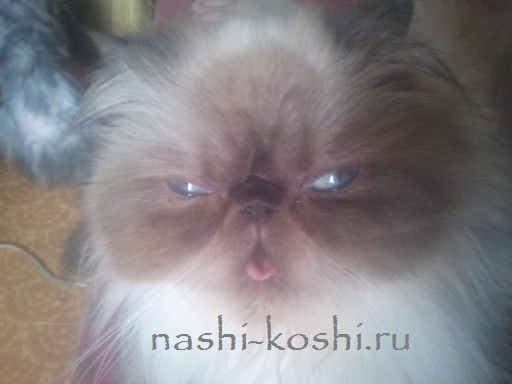 кошки породы флэппиг