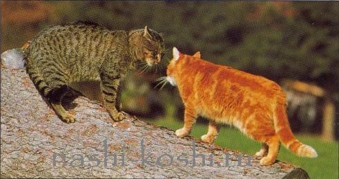 драки кошек