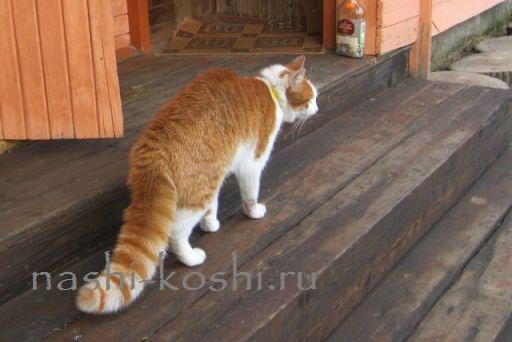 кошка распушила хвост