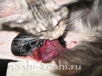 роды у кошки с осложнениями