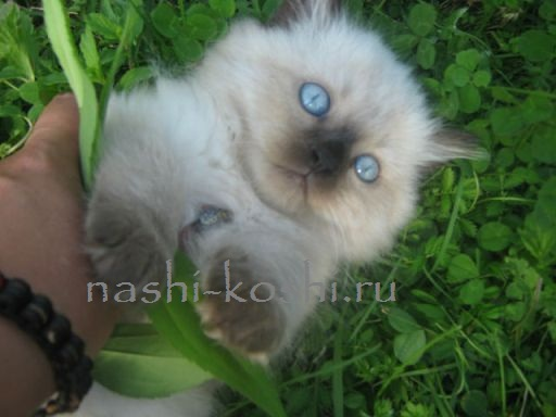 кошки с голубыми глазами