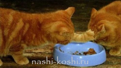 выбрать корм для кошки