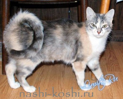 кольцехвостая кошка