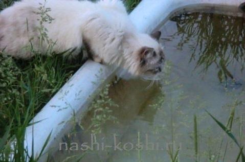 кошка не пьет воду