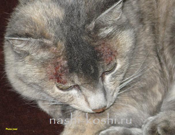 Болячки (струпья) у кошки