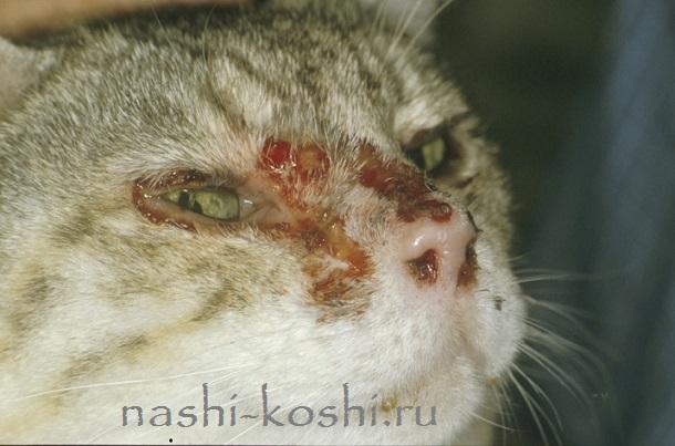 калицивирусная инфекция кошек