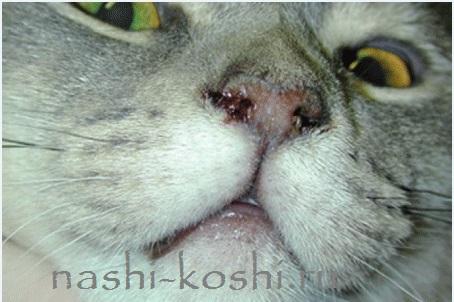 кальцивиоз у кошек – лечение