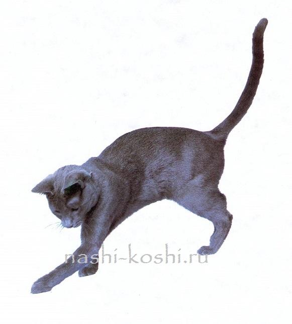 мальтийская кошка