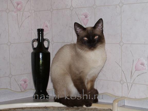 традиционная сиамская кошка