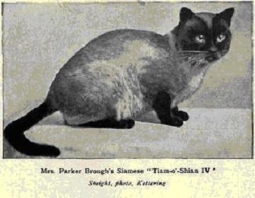 старосиамская кошка