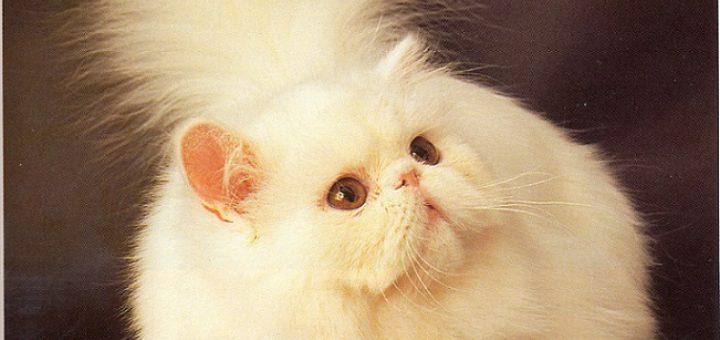 персидская кошка (перс)